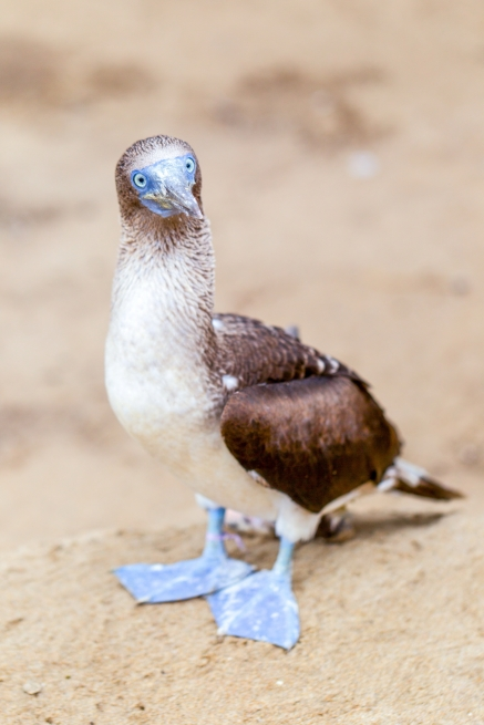 galapagos-blue-footed-booby-vertical