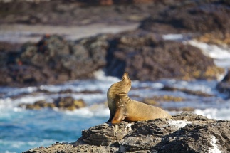 galapagos-sea-lion-looks-up
