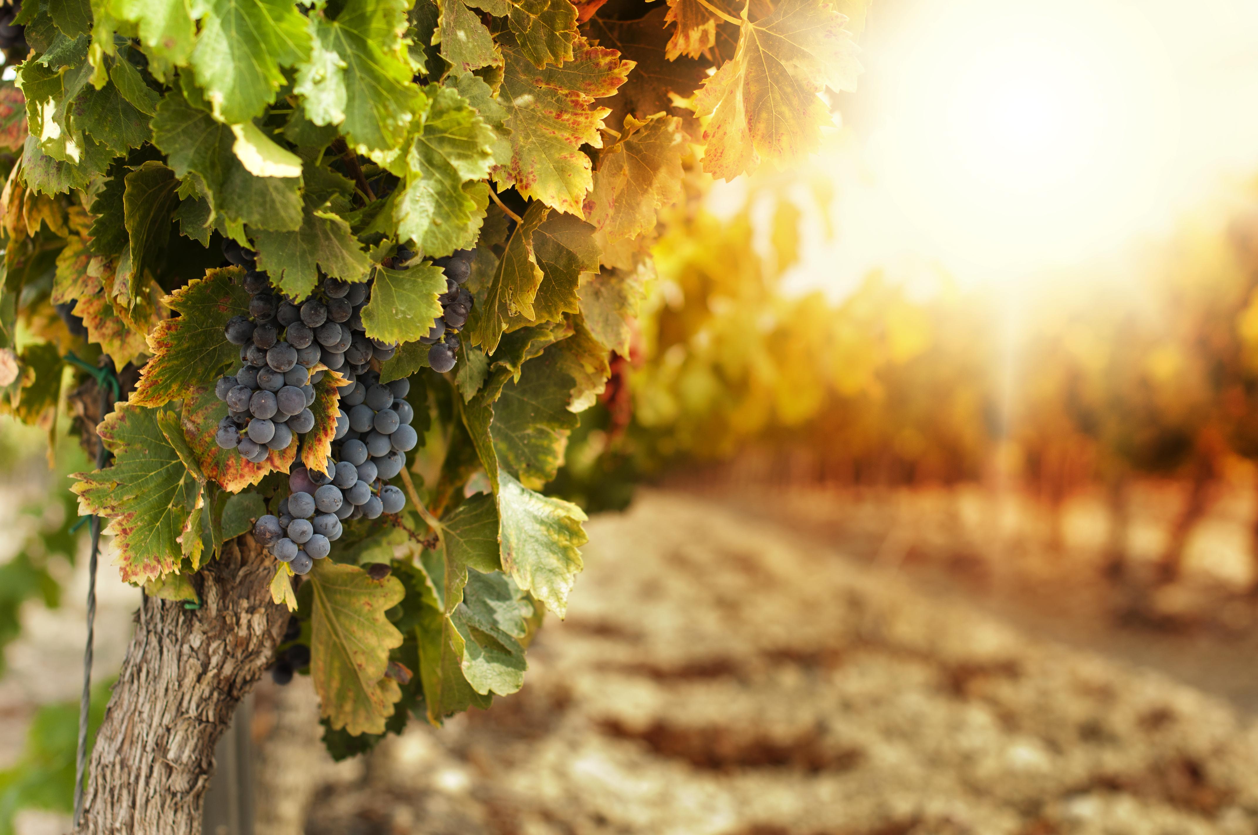 Wine-Vineyards-At-Sunset.jpg
