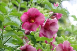 Andromeda_Botanical_Gardens_Barbados_hibiscus