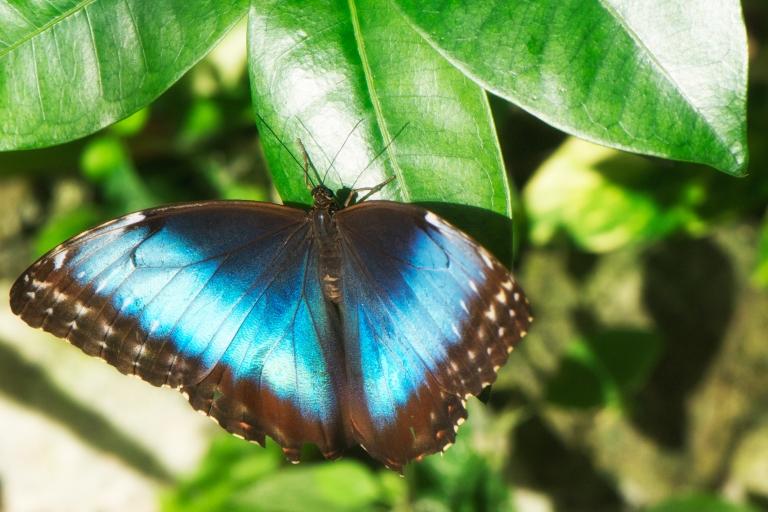 Blue_Morpho_Butterfly_Farm_aruba_caribbean