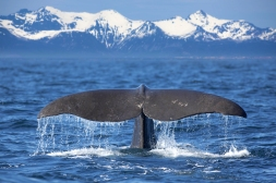 Alaska-Whale-tail-with-background-mountains