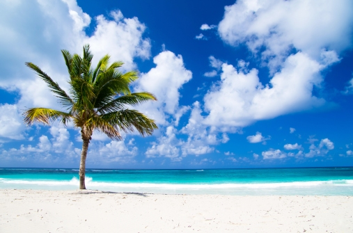 Caribbean-beach-palm tree