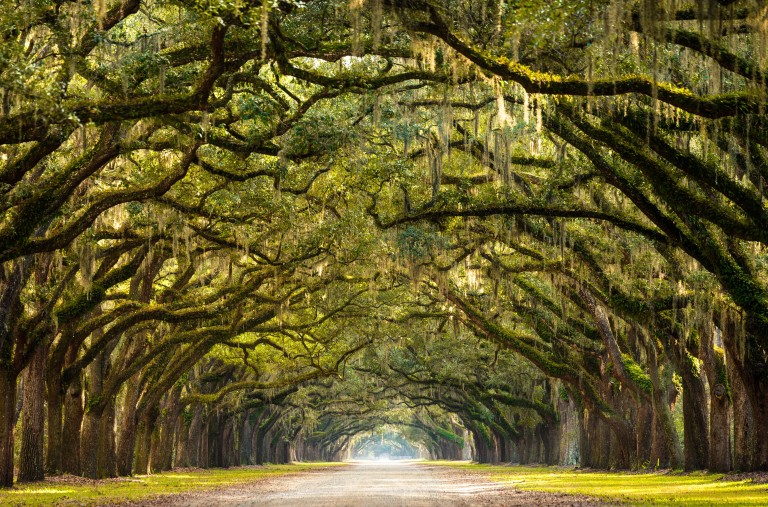 USA_Savannah_GA_oak_trees.jpg