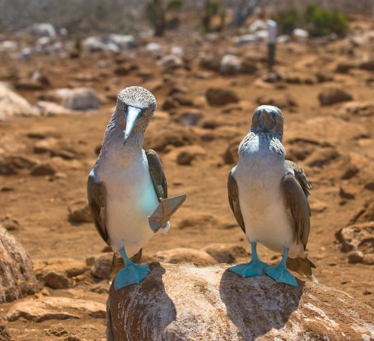 galapagos-blue-footed-boobies-2-on-rock-walking.jpg