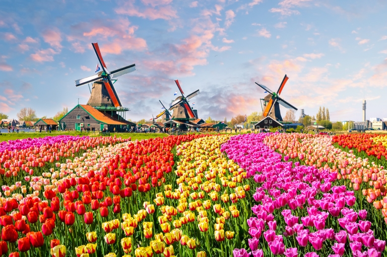 windmill_tulips_field_amsterdam