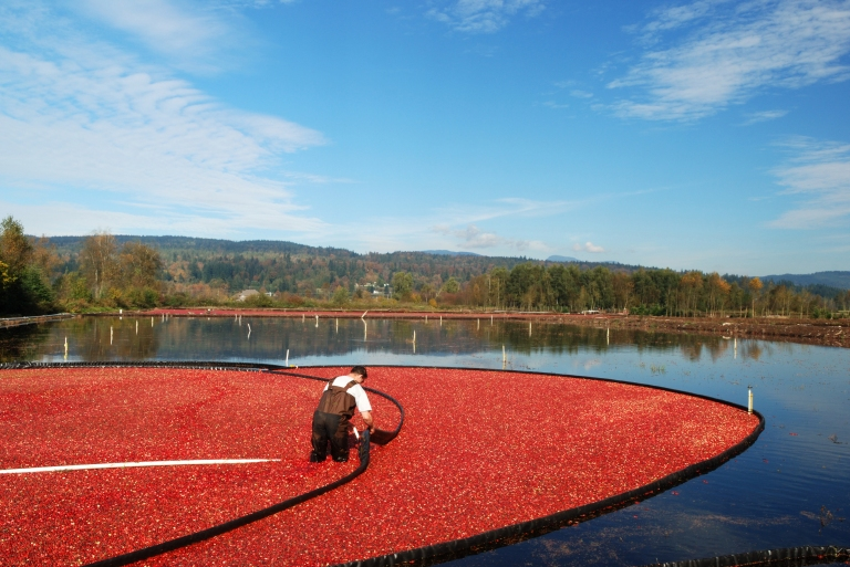 cranberry_bog_farm_harvesting_fall.jpg
