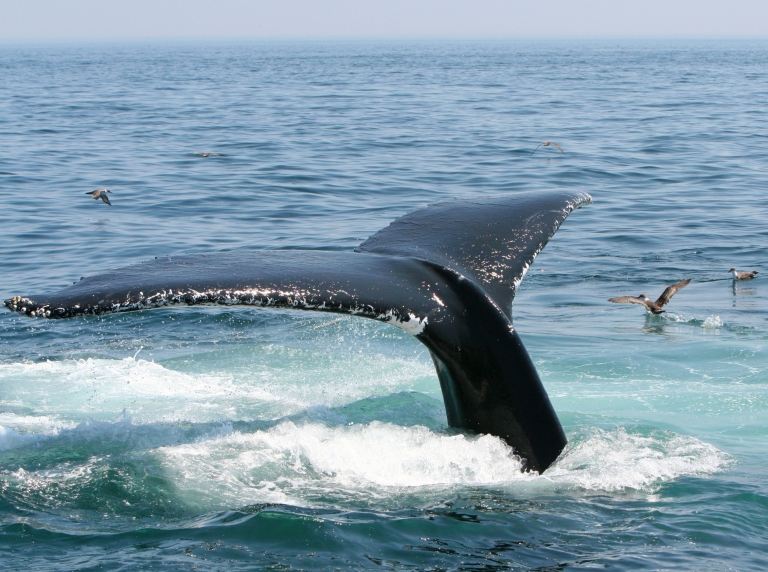 humpback_whale_tail_diving_Provincetown_Cape_Cod.jpg